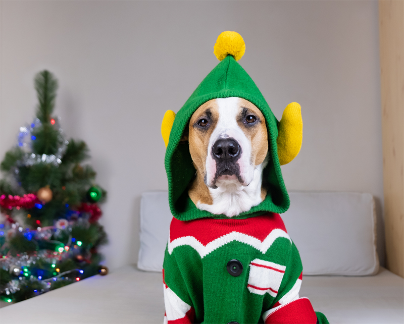 Dog in holiday clothing